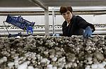 Foto: VidiPhoto<br /> <br /> VELDDRIEL – Als supermarkten niet snel de prijzen van buitenlandse champignons verhogen, zullen diverse Nederlandse champignonkwekerijen omvallen, verwachten Marc van Doremaele (blauwe trui) uit Velddriel en collegakweker Ko Hooijmans. Omdat het Nederlandse product duurzamer en kwalitatief beter is, ligt ook de prijs hoger. De niet-chauvinistische  Nederlander kiest echter vaak voor een goedkoper product. Daarnaast ligt de consumptie van champignons in Nederland per hoofd van de bevolking fors lager dan die in de ons omringende landen.