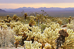 Ocotillo cacti, Joshua Tree National Park, California