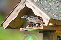Star, am Fütterhäuschen, Ganzjahresfütterung, Sturnus vulgaris, European starling, common starling, L'Étourneau sansonnet
