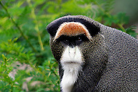 Guenons, Cercopithecus sp. are medium-sized African monkeys with long tails and large cheek pouches.