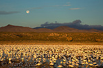 Snow Geese (Chen caerulescens), large flock on water with a full moon, just before sunrise, Bosque Del Apache National Wildlife Refuge, New Mexico, USA