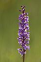 Fragrant Orchid (Gymnadenia conopsea) Nordtirol, Austrian Alps, July.
