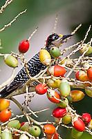 Black-cheeked Woodpecker, Chan Chich, Belize