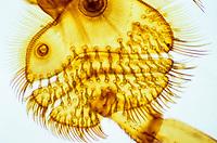 Gelbrandkäfer, Gelbrand-Käfer, Gelbrand, Ausschnitt Vorderbein mit Haftscheiben, Dytiscus marginalis, great diving beetle, Schwimmkäfer, Dytiscidae