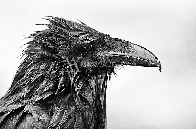 The common raven is a highly intelligent bird.  The largest ones seem to congregate near picnic areas, where they can steal an easy meal.  This one was drying out following a rainstorm.<br /> <br /> This image is also available in color.