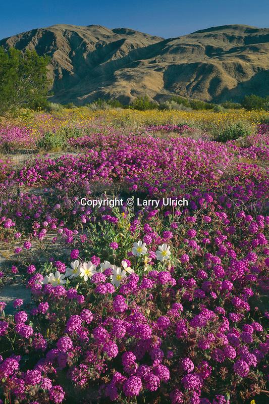 Desert sand verbena and dune evening primrose<br /> Borrego Valley and Coyote Mountain<br /> Anza-Borrego Desert State Park<br /> Sonoran Desert,  California