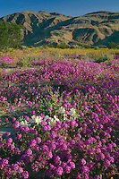 Desert sand verbena and dune evening primrose<br />