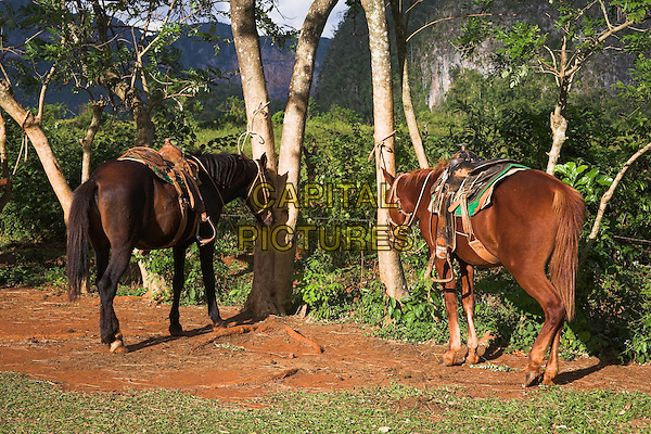 Two horses standing beside trees in field, Vinales Valley, Pinar Del Rio Province, Cuba