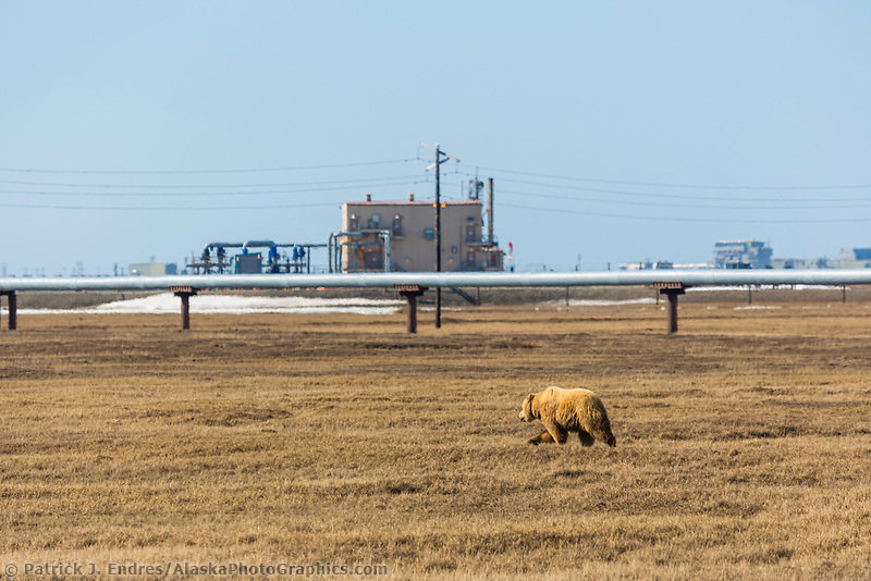 Grizzly bear walks across the tundra in the Prudhoe bay oil fields on Alaska's Arctic North Slope.