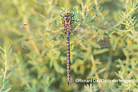 06357-00101 Shadow Darner (Aeshna umbrosa) male (Marion Co. IL