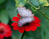 A lovely White Peacock with full wings spread purches on a bright red flower showing off its markings against a garden background.