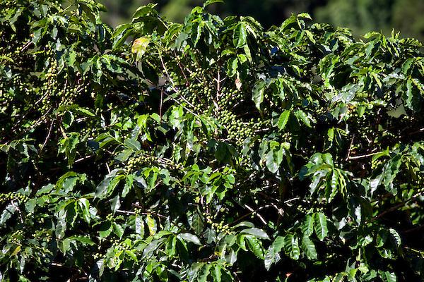 Conceicao do Castelo_ES, Brasil...Pe de cafe ao lado de trecho da Rota Imperial...A coffee tree next to Imperial Route...Foto: LEO DRUMOND / NITRO..
