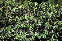 Conceicao do Castelo_ES, Brasil...Pe de cafe ao lado de trecho da Rota Imperial...A coffee tree next to Imperial Route...Foto: LEO DRUMOND / NITRO..