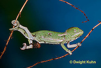 CH46-595z  Veiled Chameleon just hatched young, Chamaeleo calyptratus