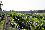 July 29, 2011. Cary, NC.. SAS operates an onsite farm, which provides many of the fresh vegetables for the cafeterias on the company's campus.. Profile of SAS, a software company that has many amenities for its employees.