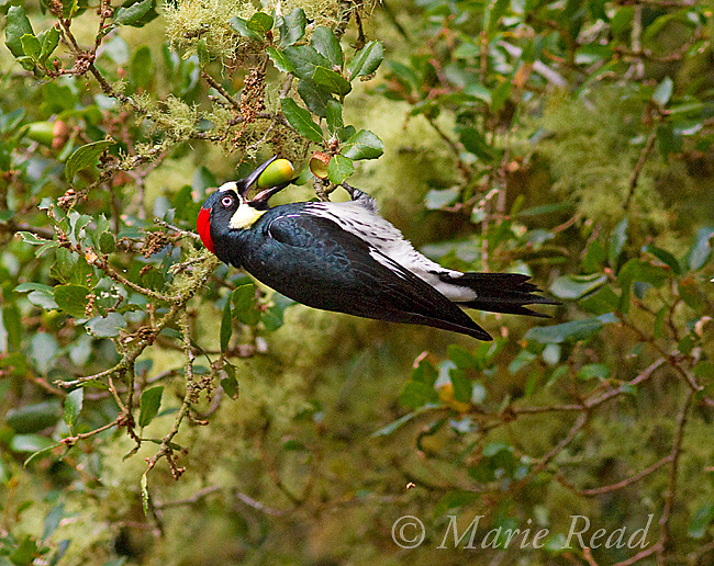 Acorn Woodpecker (Melanerpes formicivorus), female clings upside down in Coast Live Oak (Quercus agrifolia) to gather an acorn, autumn, Bear Valley Trail, Point Reyes, California, USA