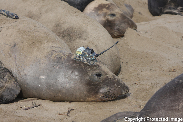 Elephant seal female with research devices.  UCSC research.
