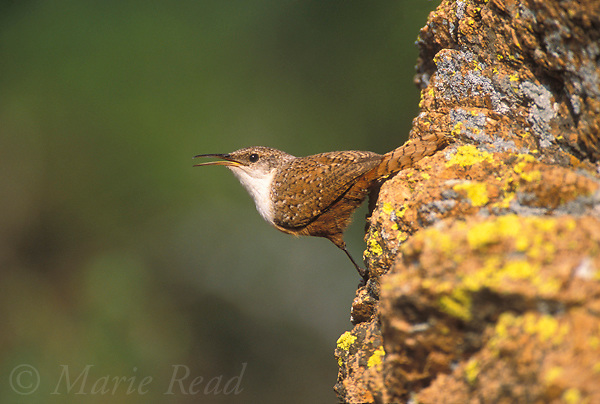 Canyon Wren (Catherpes mexicanus) male clinging to a rock, singing, Wichita Mountains National Wildlife Refuge; Oklahoma, USA<br /> Slide # B134-601