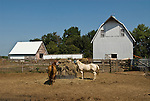 Horses eat from the pile of hay next to a white barn in rural Nebraska.