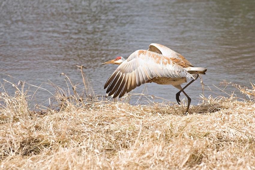 A sandhill crane near a small pond in central Wisconsin.