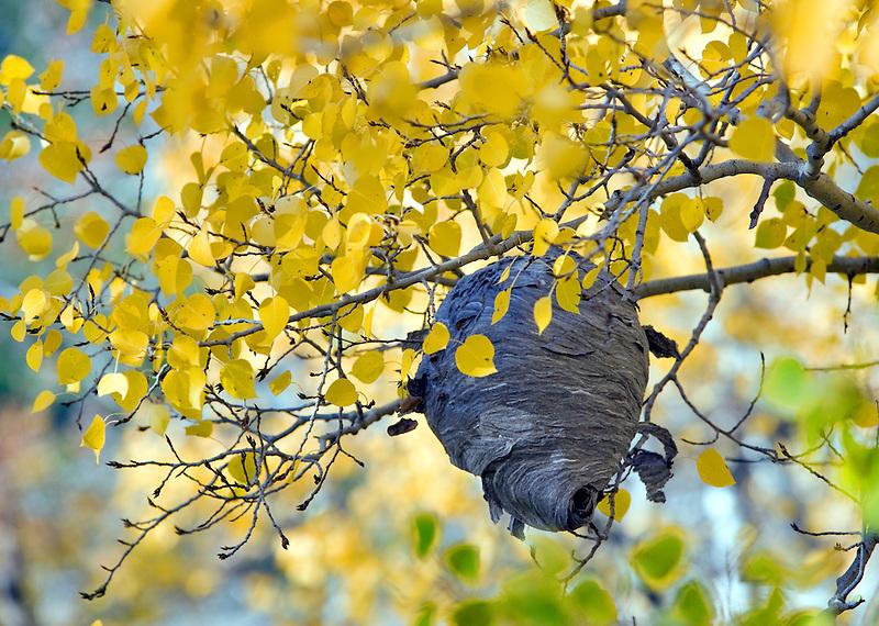 Hornets nest and fall colored aspens, Montana
