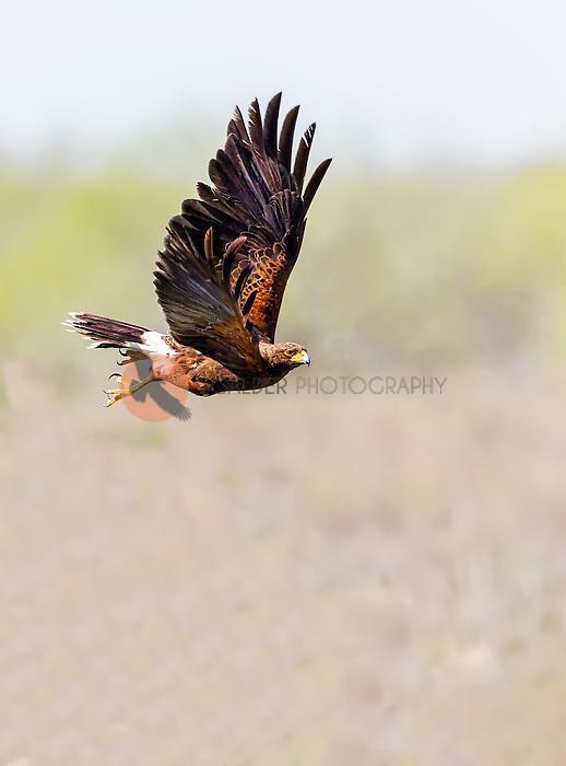 Adult Harris's Hawk in flight with wings in upstroke, flying over an open field
