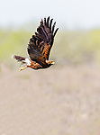 Adult Harris's Hawk in flight with wings in upstroke, flying over an open field