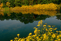 Midwestern lake with a profusion of blooming yellow tickseed flowers reflected in garden lake with blackeyed susans (rudibeckia), Missouri USA
