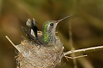 Costa's hummingbird in nest
