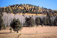 FALL FOLIAGE<br /> Fall Aspens Stand<br /> Populu tremuloides<br />  Flagstaff, AZ