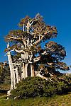 Foxtail Pine (pinus balfouriana) tree, Desolation Wilderness, El Dorado National Forest, California
