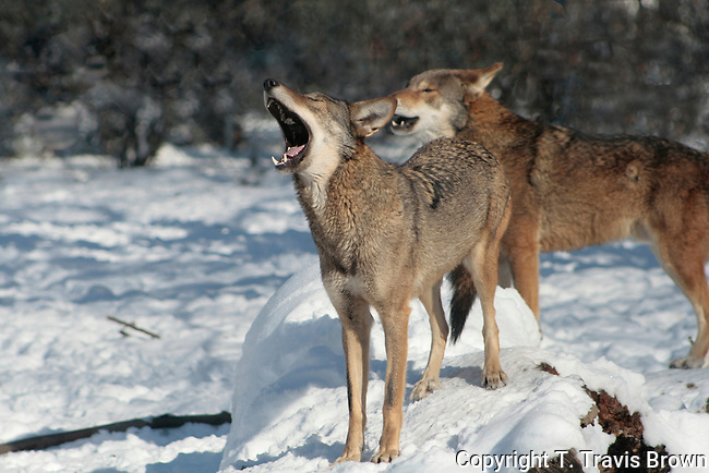 Red Wolf (Canis rufus)-captive