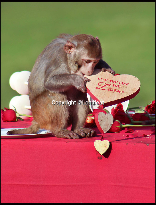 BNPS.co.uk (01202 558833)<br /> Pic: IanTurner/Longleat/BNPS<br /> <br /> The Macaques pile in to the tasty buffet...nothing is spared...<br /> <br /> The likelihood of these diners sitting down to enjoy a quiet intimate meal for Valentine's Day was always going to be a big ask.<br /> <br /> The prospect of romance was soon replaced with antics of mayhem when the excited troop of macaque monkeys at Longleat Safari Park turned the candlelight supper into a bunfight.<br /> <br /> Within seconds of setting up the special romantic banquet complete with red roses and candelabra in their enclosure at the Wiltshire attraction, the guests had stripped the table bare and made off with the contents.