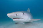 Tiger Shark - Galeocerdo cuvier. Tiger Beach, Bahamas, Atlantic Ocean.
