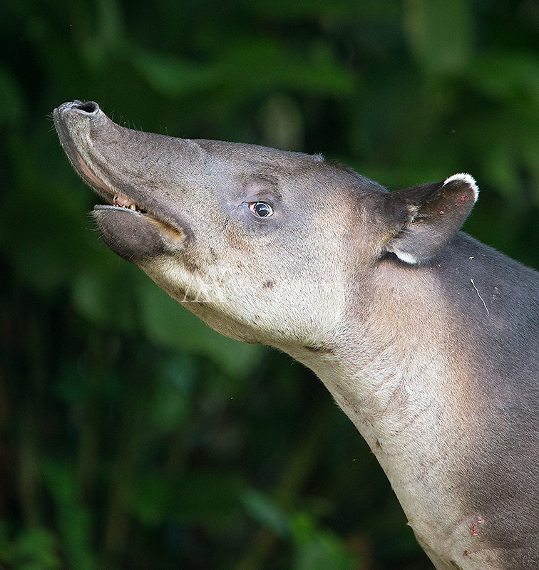 Tapirs often rely on an acute sense of smell to make up for their poor vision.