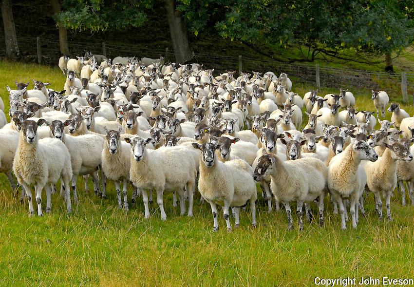 Nick Davies, Brakes Farm, Downton Castle, Ludlow, Shropshire.....Mule ewes.