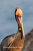00672-00714 Brown Pelican (Pelecanus occidentalis), La Jolla cliffs, La Jolla, CA