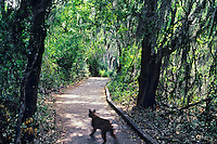 Wild Bobcat crossing trail to Willow Lakes in Santa Ana National Wildlife Refuge, Texas.  March.