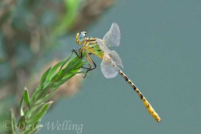 333920001 a wild male brimstone clubtail dragonfly stylurus intricatus perches on an arroweed plant near el centro in imperial county california united states