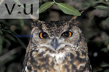 Face of Cape Eagle Owl (Bubo capensis) showing large eyes spaced for binocular vision, South Africa.