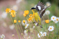 Lesser Goldfinch (Spinus psaltria hesperophilus), male foraging on a yellow flower in the Desert Botanical Garden in Phoenix, Arizona.