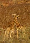rivière Hoasirub. Au pied des falaises rocheuses, des girafes (giraffa camalopardalis) adaptées au désert