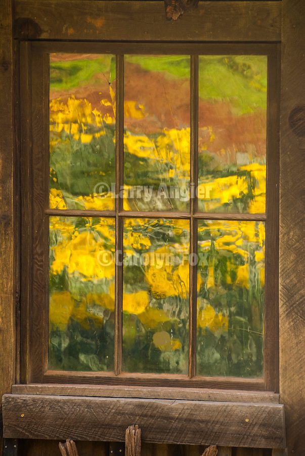 McLaughlin's Daffodil Hill in bloom, Volcano, Calif.<br /> <br /> Window reflection