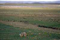 The gray fox, a native of mainland Patagonia, was brought to Tierra del Fuego in the 1950s in hopes of putting the brakes on a scourge of rabbits introduced on the Chilean side of the island in the 1930s. Today the foxes roam in force the steppe of the island's north, and are rapidly pushing Tierra del Fuego's larger native red foxes out of prime habitat in southern forests.