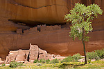 A green tree in front of the White House Ruins in Canyon de Chelly National Park, Arizona, United States of America.
