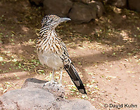 0610-1102  Greater Roadrunner (Chaparral Cock or Ground Cuckoo), Geococcyx californianus  © David Kuhn/Dwight Kuhn Photography