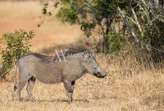 This juvenile warthog was facing off against a young pair of leopard cubs.