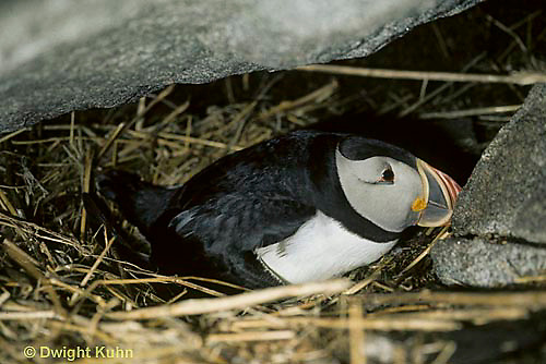 MC38-002c  Atlantic Puffin - sitting on nest under rocks at Machias Seal Island, Bay of Fundy - Fratercula arctica
