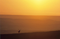 Bull elk on prairie ridge at sunrise with Great Plains in background, Wind Cave National Park, South Dakota, AGPix_0276.