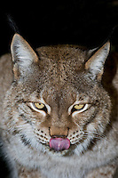 657140006 portrait of a captive lynx felis lynx that is a wildlife rescue native to the northern tier of north america